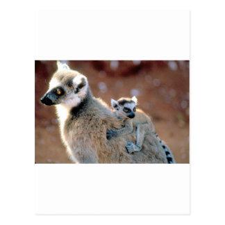 Ringtail Lemur And Baby Postcard