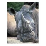 Rinoceronte blanco tarjeta postal