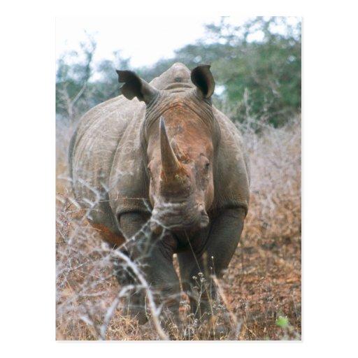 Rinoceronte de carga tarjeta postal