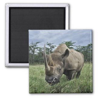 Rinoceronte negro, bicornis del Diceros, Kenia Imán Cuadrado