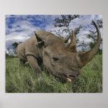 Rinoceronte negro, bicornis del Diceros, Kenia Impresiones