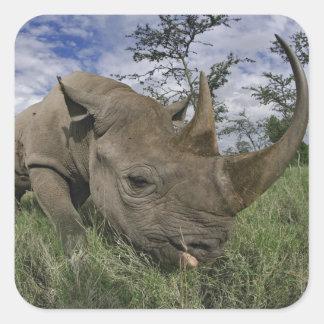 Rinoceronte negro, bicornis del Diceros, Kenia Pegatinas Cuadradases