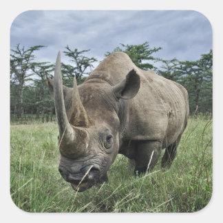 Rinoceronte negro, bicornis del Diceros, Kenia Pegatina Cuadradas Personalizadas