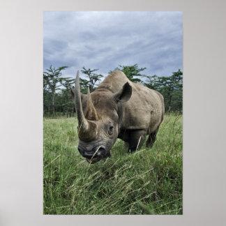 Rinoceronte negro, bicornis del Diceros, Kenia Póster