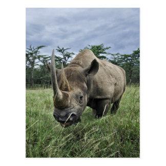Rinoceronte negro bicornis del Diceros Kenia Postal