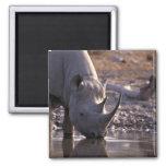 Rinoceronte que bebe en un lugar de riego imanes de nevera