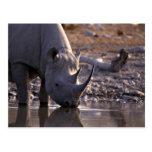 Rinoceronte que bebe en un lugar de riego tarjetas postales
