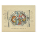 Riñones del abdomen de la anatomía de Frohse del v Poster