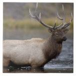 río de la travesía de los alces del toro, Yellowst Teja