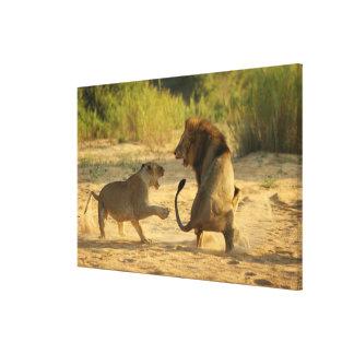 Río de Timbavati, parque nacional de Kruger, el Li Lona Envuelta Para Galerias