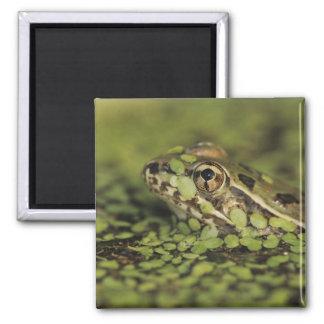Rio Grande Leopard Frog, Rana berlandieri, 2 Inch Square Magnet