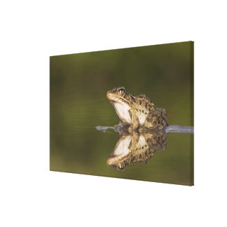 Rio Grande Leopard Frog, Rana berlandieri, adult Canvas Print