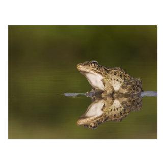 Rio Grande Leopard Frog, Rana berlandieri, adult Postcard