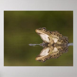 Rio Grande Leopard Frog, Rana berlandieri, adult Poster