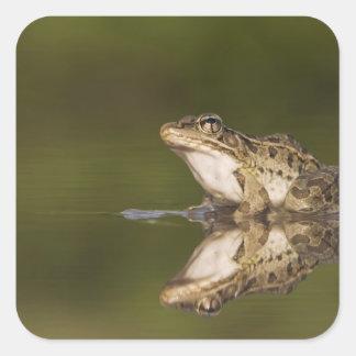 Rio Grande Leopard Frog, Rana berlandieri, adult Square Sticker