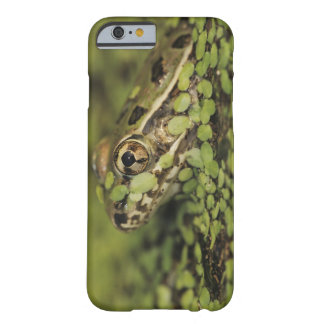 Rio Grande Leopard Frog, Rana berlandieri, Barely There iPhone 6 Case