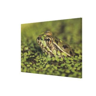 Rio Grande Leopard Frog, Rana berlandieri, Canvas Print