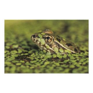 Rio Grande Leopard Frog, Rana berlandieri, Photo Print