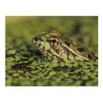 Rio Grande Leopard Frog, Rana berlandieri, Postcard