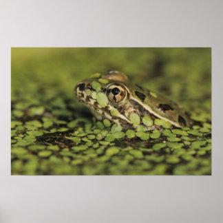 Rio Grande Leopard Frog, Rana berlandieri, Poster