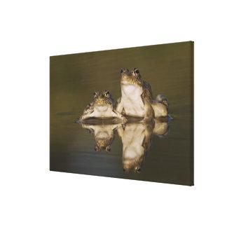 Rio Grande Leopard Frog, Rana berlandieri, two Canvas Print
