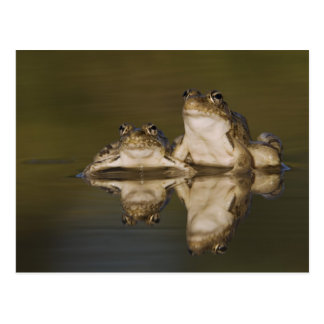 Rio Grande Leopard Frog, Rana berlandieri, two Postcard