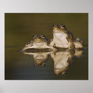 Rio Grande Leopard Frog, Rana berlandieri, two Poster