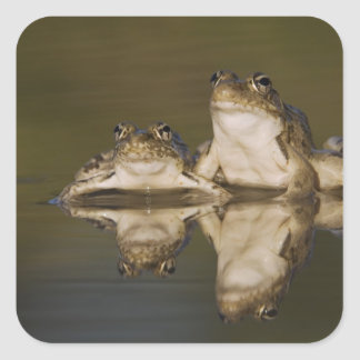 Rio Grande Leopard Frog, Rana berlandieri, two Square Sticker