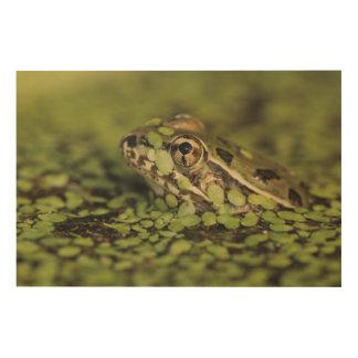 Rio Grande Leopard Frog, Rana berlandieri, Wood Print