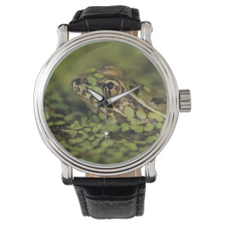 Rio Grande Leopard Frog, Rana berlandieri, Wristwatch