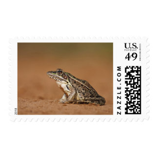 Rio Grande Leopard Frog sunning, Texas Postage