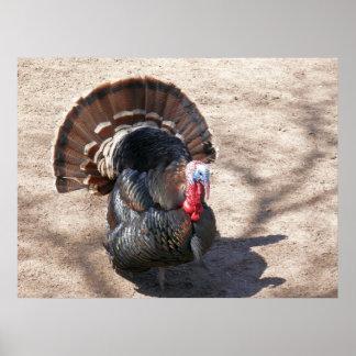 Rio Grande Wild Turkey Posters