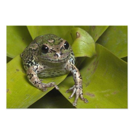Riobamba Marsupial Frog Gastrotheca Photo Print