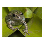 Riobamba Marsupial Frog Gastrotheca Postcard