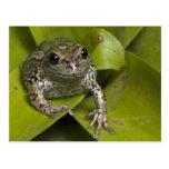Riobamba Marsupial Frog Gastrotheca Postcards