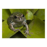 Riobamba Marsupial Frog Gastrotheca Poster