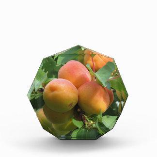 Ripe apricots hanging on the tree . Tuscany, Italy Acrylic Award