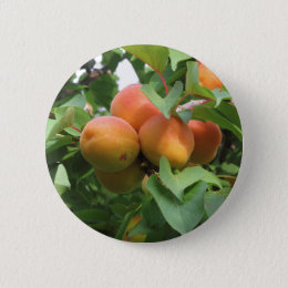 Ripe apricots hanging on the tree . Tuscany, Italy Button