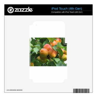 Ripe apricots hanging on the tree . Tuscany, Italy Decals For iPod Touch 4G