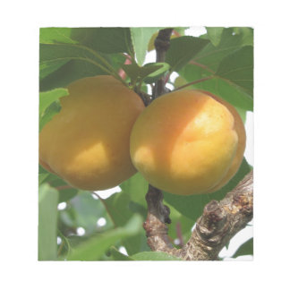 Ripe apricots hanging on the tree . Tuscany, Italy Notepad