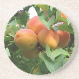 Ripe apricots hanging on the tree . Tuscany, Italy Sandstone Coaster