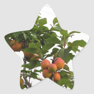 Ripe apricots hanging on the tree . Tuscany, Italy Star Sticker