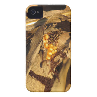 Ripe ear of corn at sunset iPhone 4 Case-Mate cases