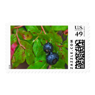 Ripe huckleberries in a light rain postage