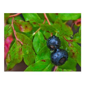 Ripe huckleberries in a light rain postcard