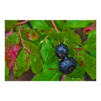Ripe huckleberries in a light rain poster