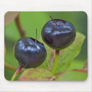 Ripe huckleberries in the Flathead National 2 Mouse Pad