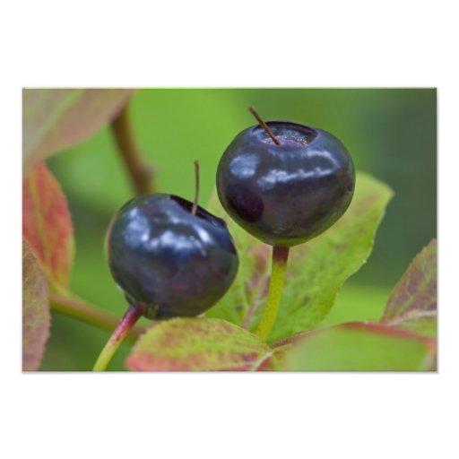 Ripe huckleberries in the Flathead National 2 Art Photo