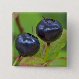 Ripe huckleberries in the Flathead National 2 Pinback Button