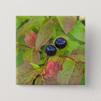 Ripe huckleberries in the Flathead National Button